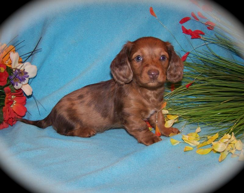 Mom S Dachshunds Past Puppies