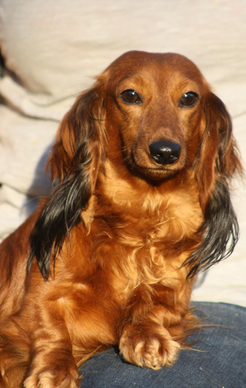 Miniature Red Long Haired Dachshund Female Pictures to pin on ...