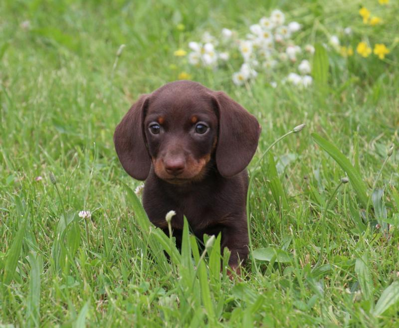 weiner dogs for sale in ohio